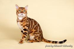 Бенгальский кот Magic Miracle