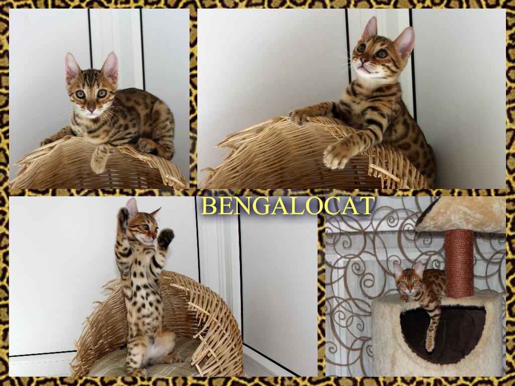 Котята бенгальские купить Украина