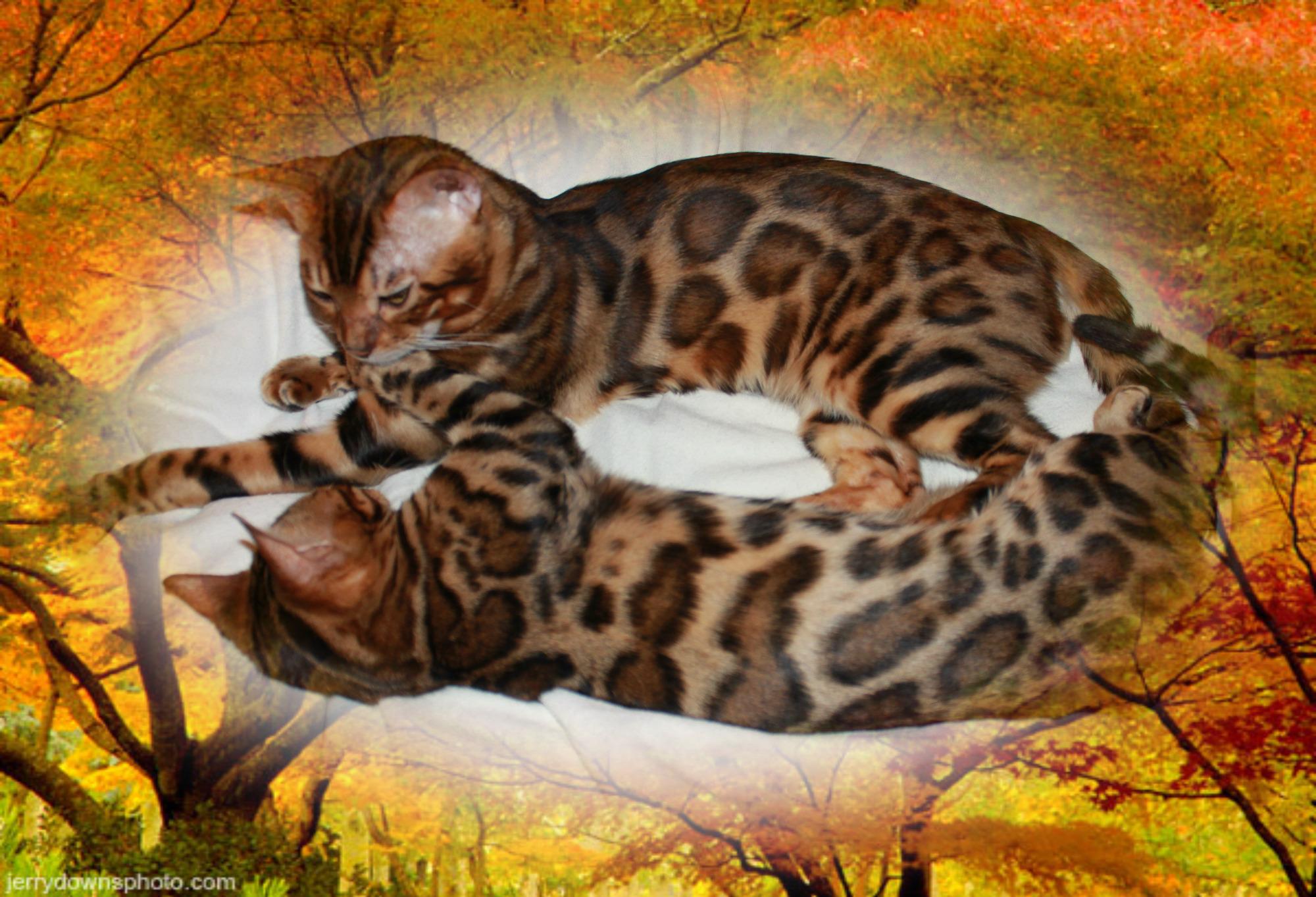 Бенгальский кот.Украина. DIO