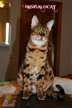 """Бенгальская кошка. """"Jaguar Jungle"""""""