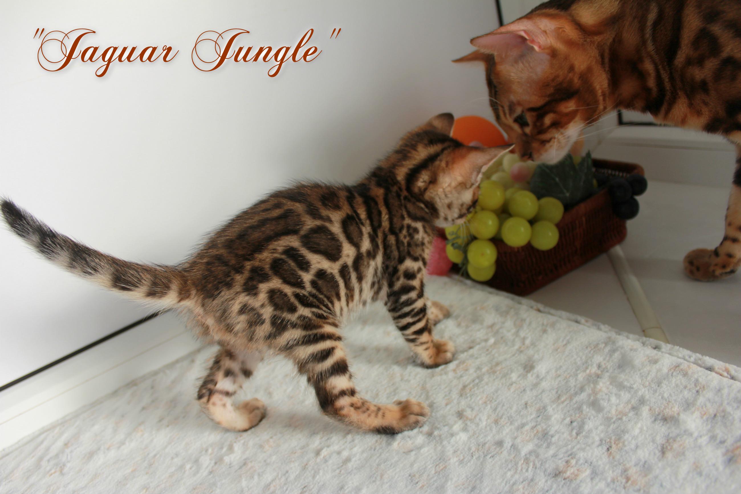 Бенгальские котята купить Киев