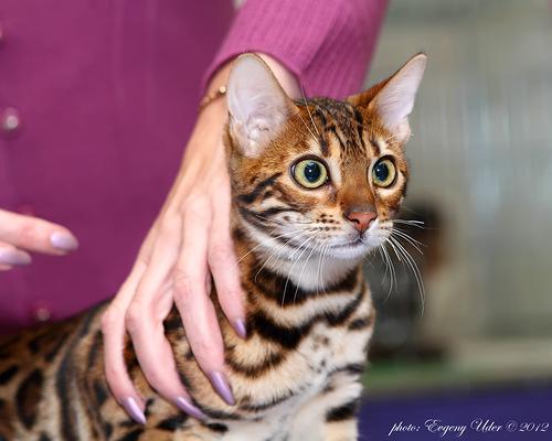 бенгальский котенок Sea