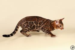 Fighter Jaguar Jangle