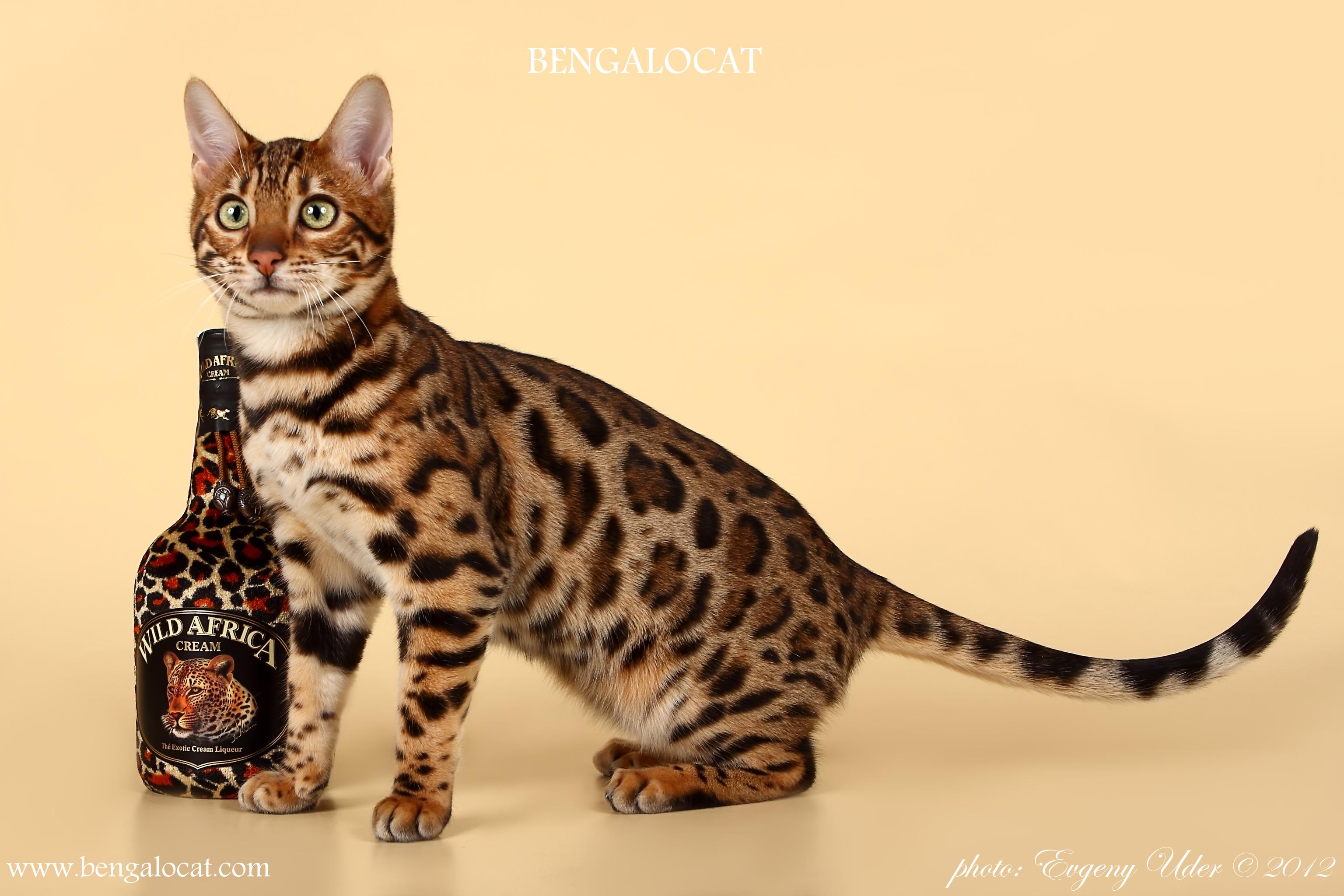 Бенгальские котята Bengalocat