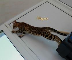 Бенгальская кошка Niagara