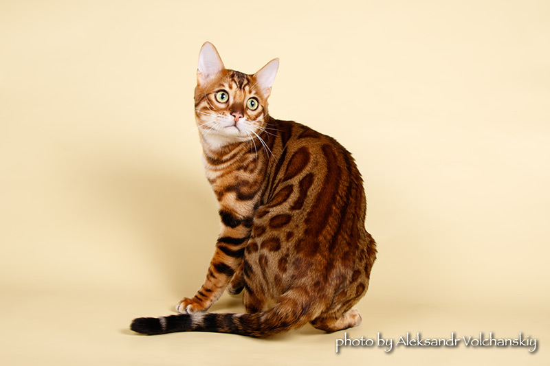 Бенгальский кот Magic Miracle Jaguar