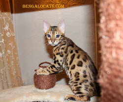 бенгальские котята питомник