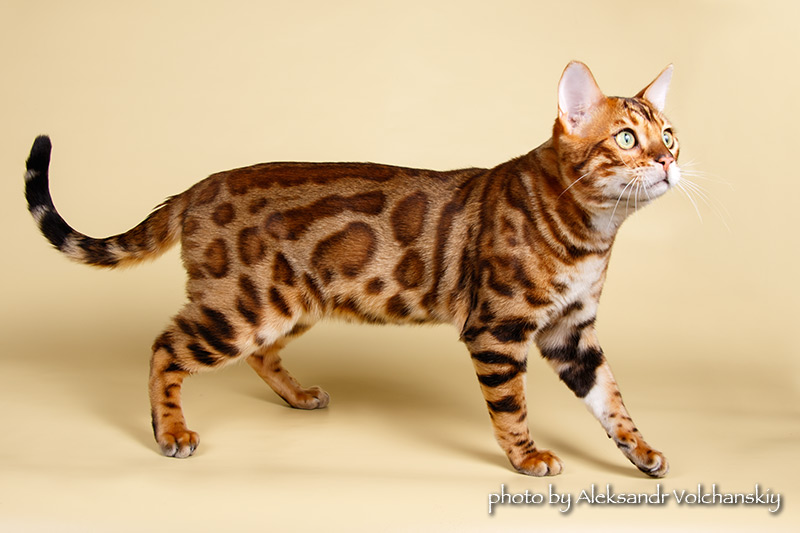 Magic Miracle бенгальский кот