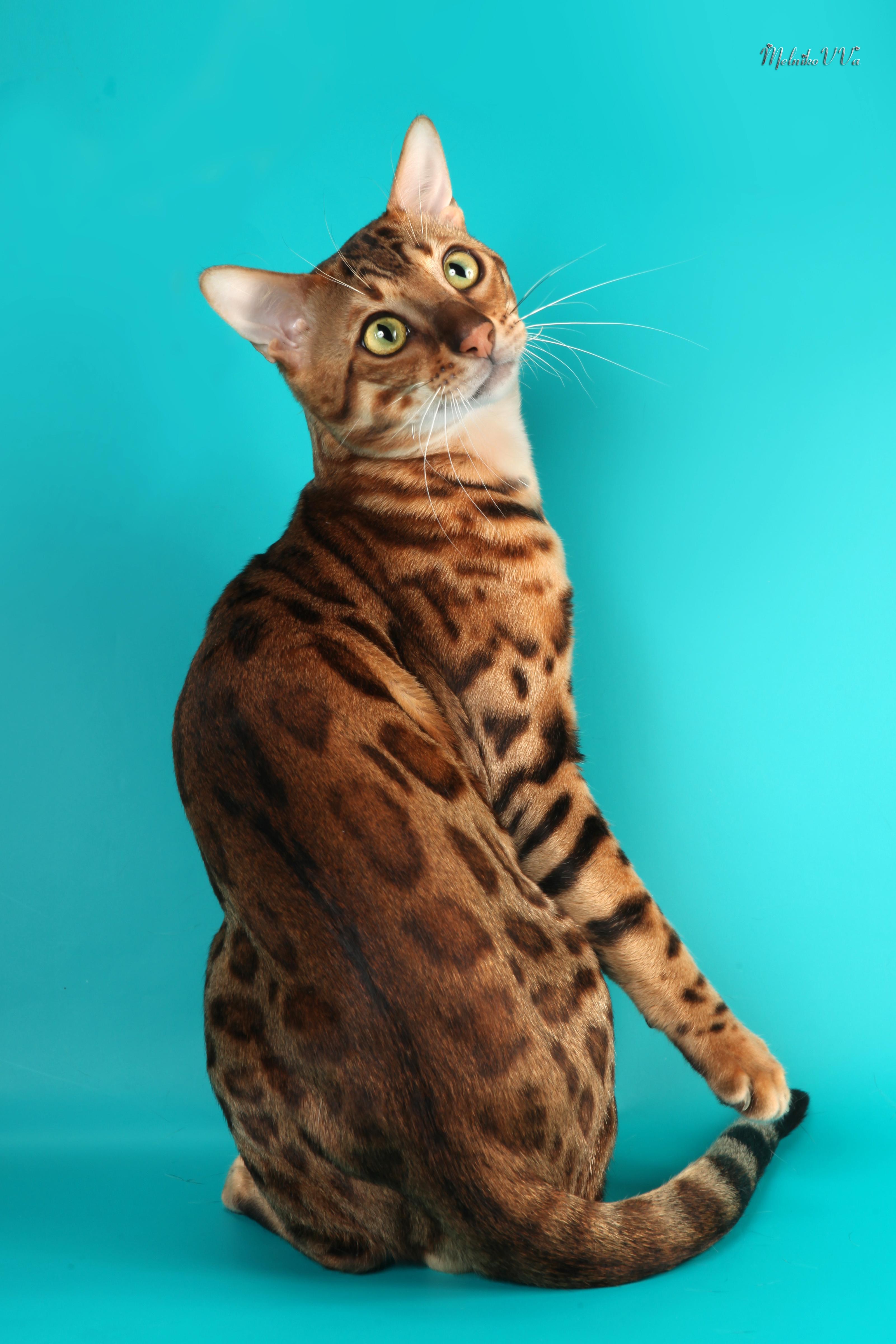 Бенгальский кот. Киев