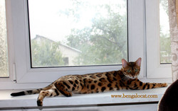 Бенгальская кошка Sequoia