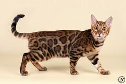 питомник бенгальских кошек Украина