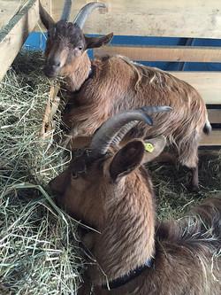 A la chèvrerie