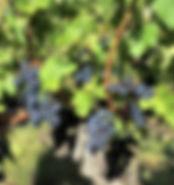 mariawineandwords.com vignes à Saint Emilion