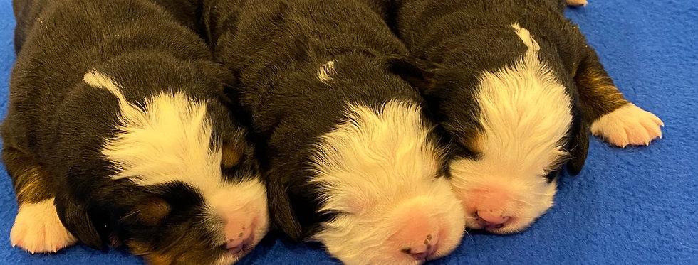 Harley & Apollo's Puppies