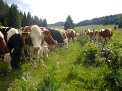 Curieuses les vaches du Jura