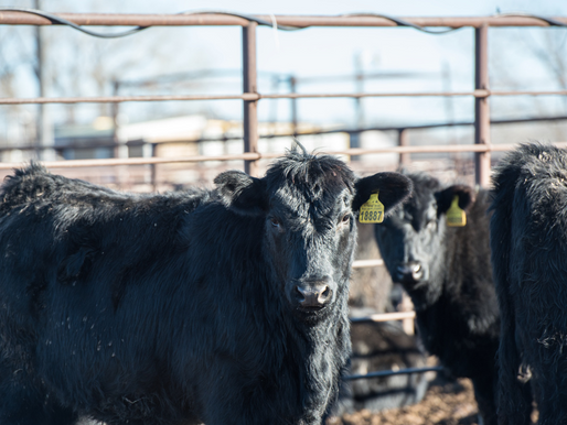 Keeping Kansas beef on track: CattleTrace project aims to safeguard state's $17B industry