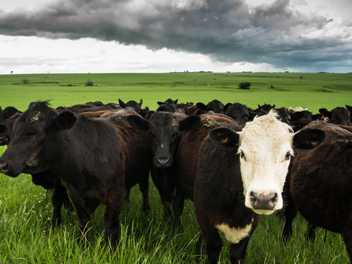 Program promotes traceability for cattle supply