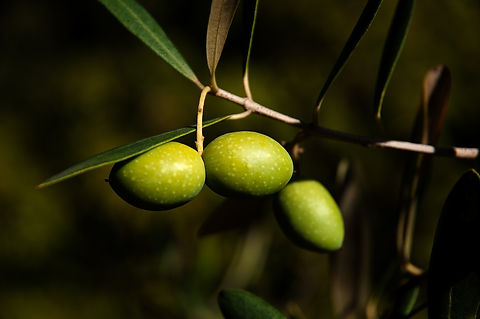 Le nostre olive biologiche