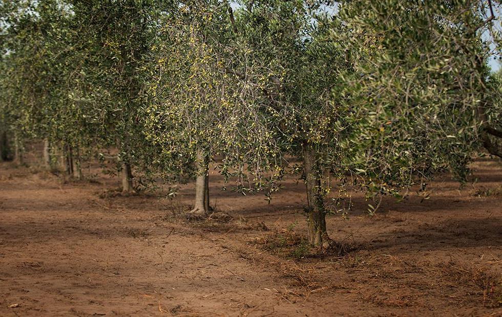 lavorazione oliveto 1.jpg