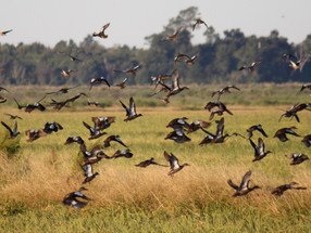 Rice trunks integral to managing waterfowl areas