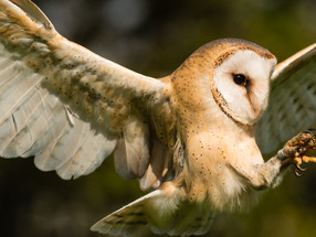 Owl I want for Christmas is 'whooooo'