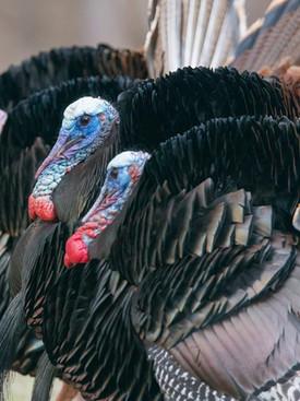 Time for Turkeys