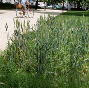 894669_plantes messicoles.jpg