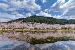 桜シンメトリー