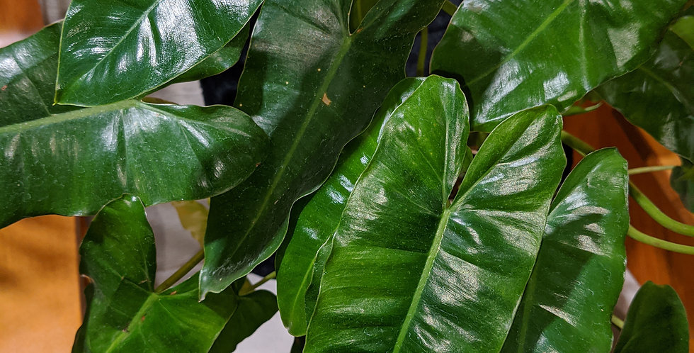 Philodendron Burle Barx