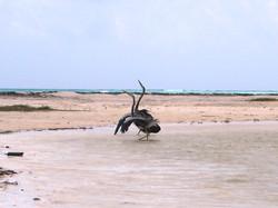 Great blue heron (courtship) © Miguel Amar Uribe