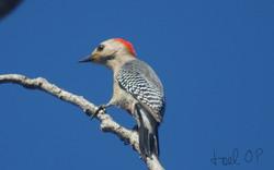 Red-vented (Yucatan) Woodpecker © Joel Ortega