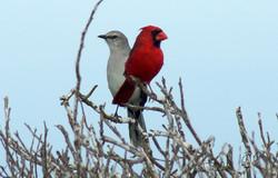 Tropical Mockingbird and Northern Cardinal © Joel Ortega