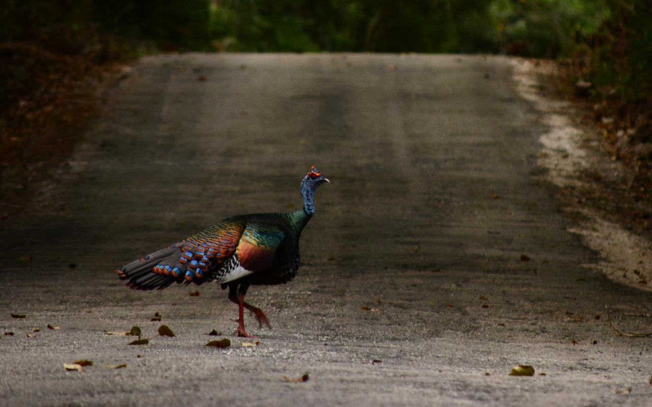 Ocellated turkey © Luigi Balzano