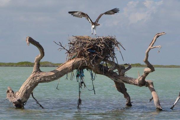 Osprey © Julie Cassard