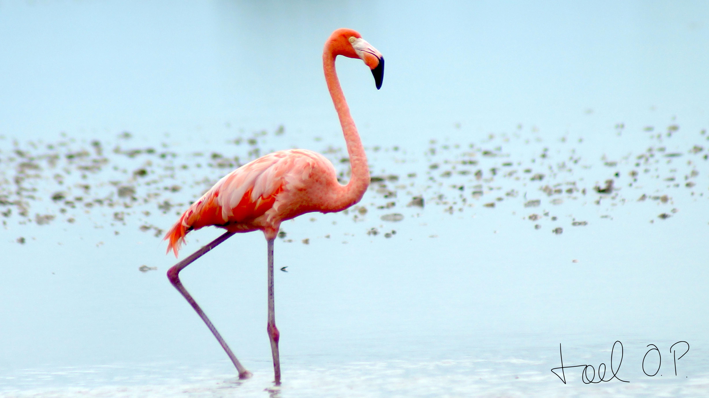 American Flamingos © Joel Ortega