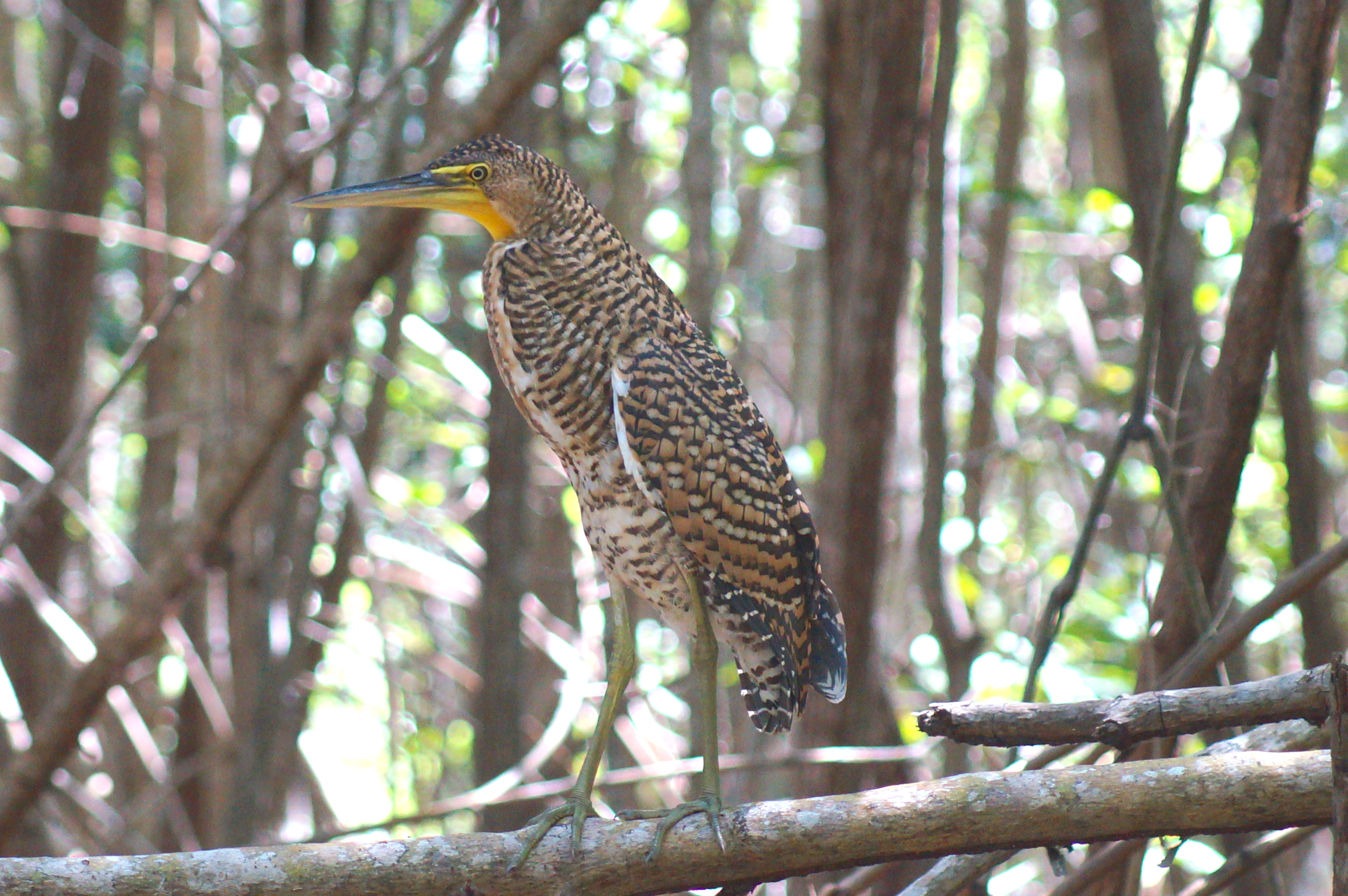 Bare-throated Tiger Heron © Joel Ortega