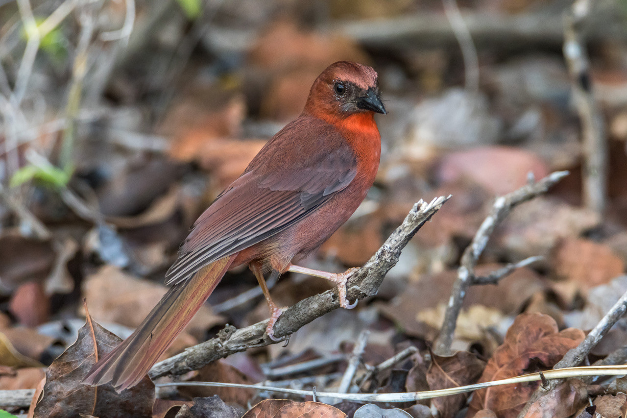 Red-throated Ant Tanager © Tony LePleur