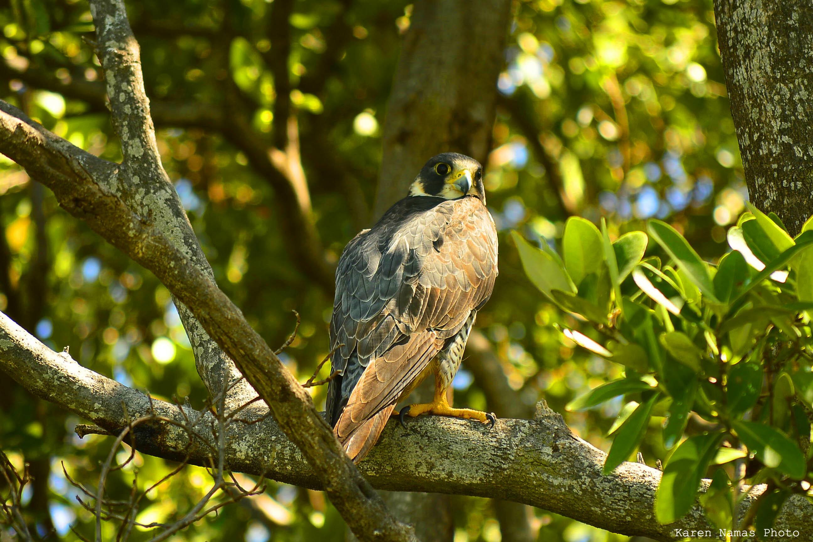 Peregrine Falcon © Karen