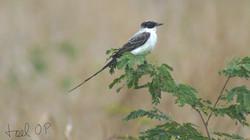 Fork-tailed Flycatcher © Joel Ortega