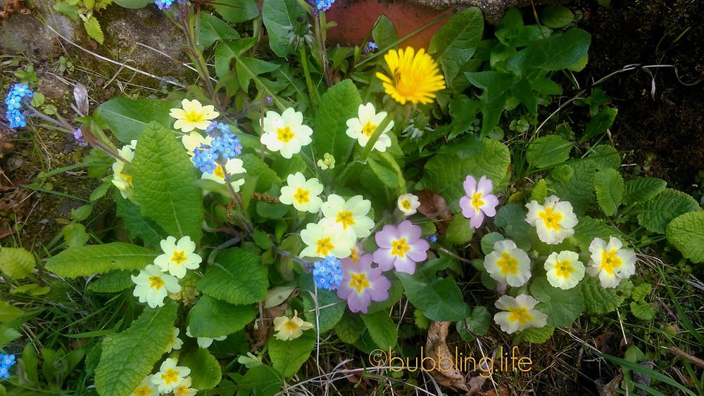 Primroses and dandelions