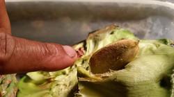 Bunya nuts harvested