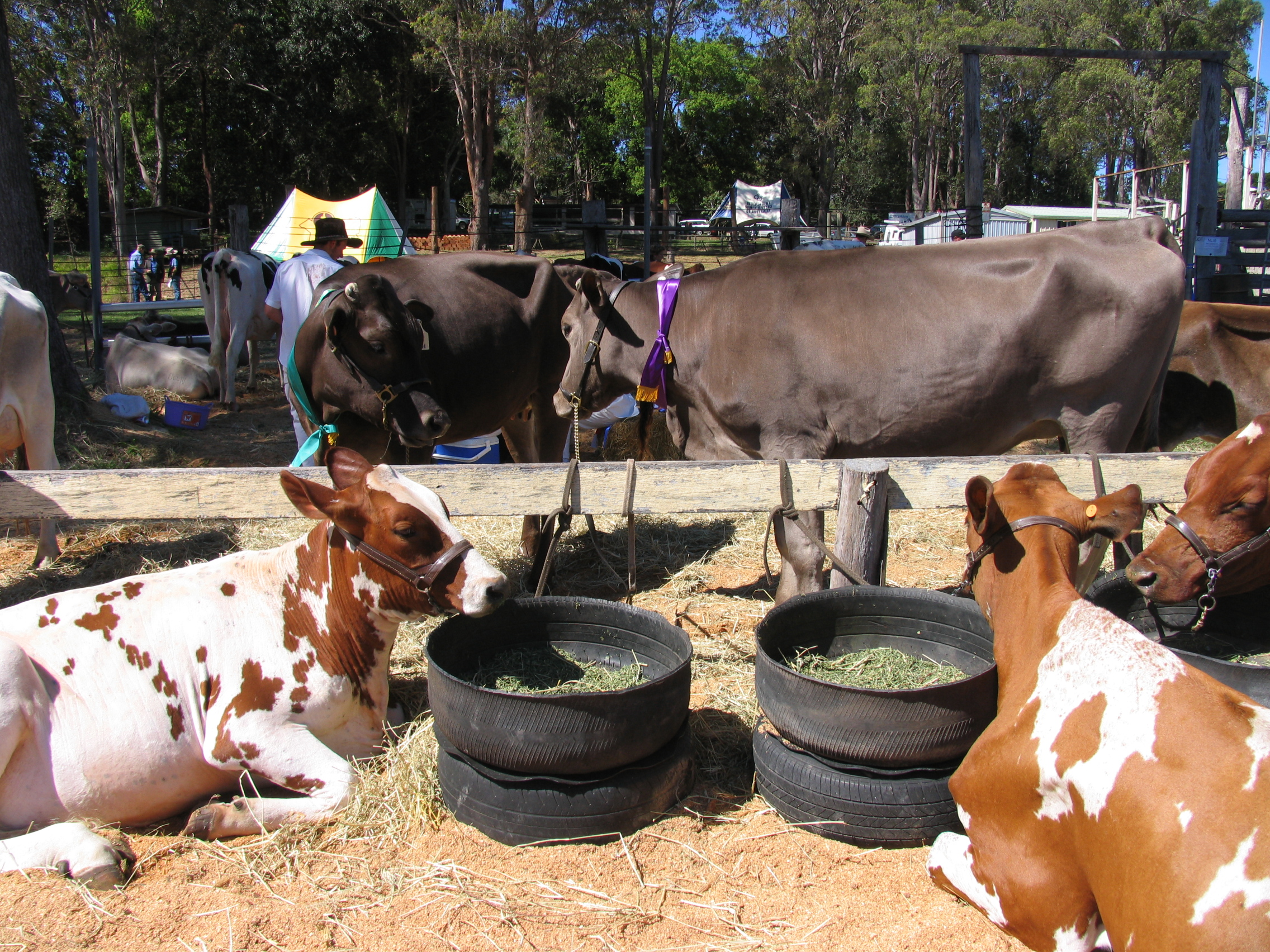 dairy cattle 1