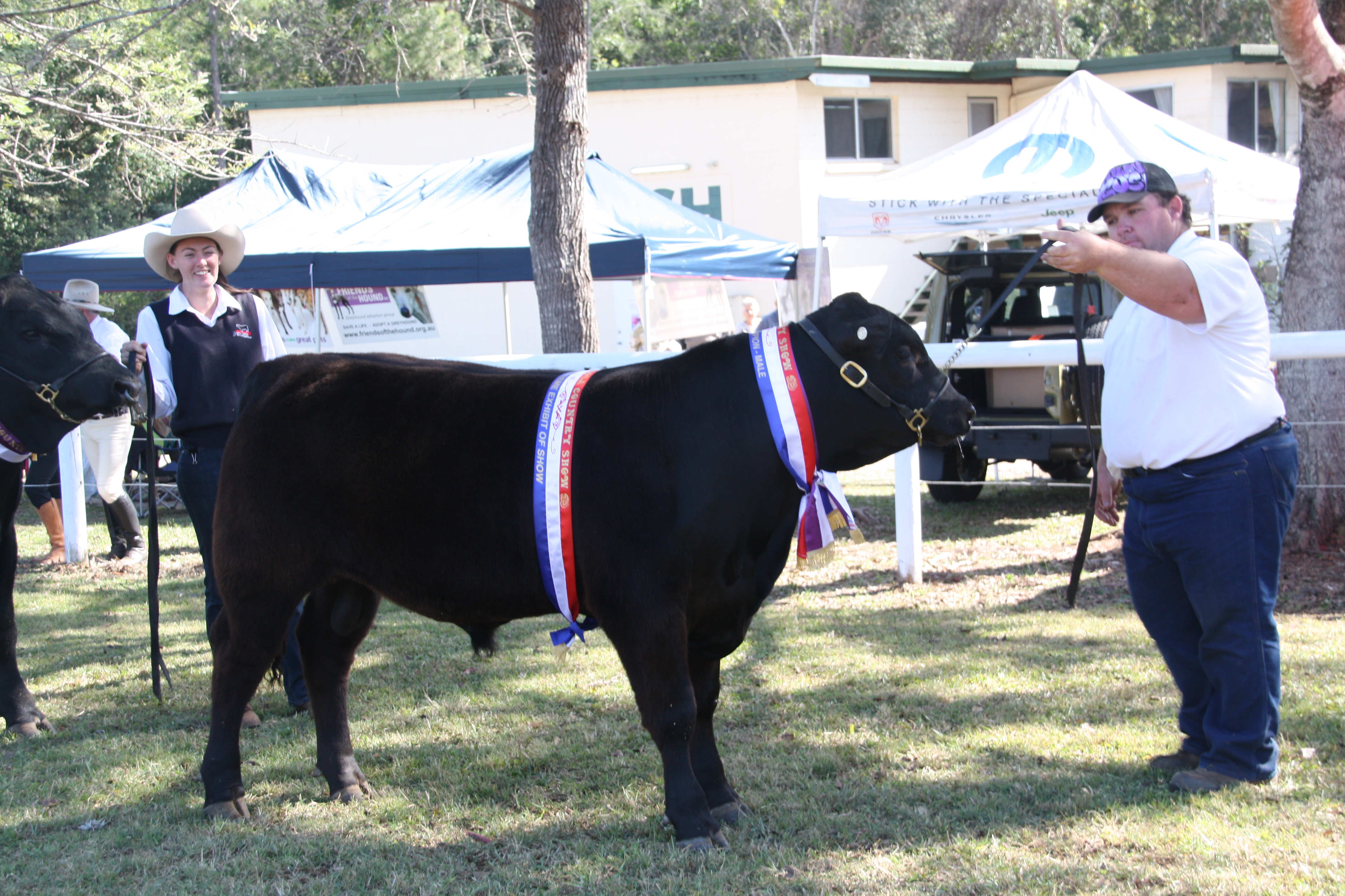 Champion Cattle