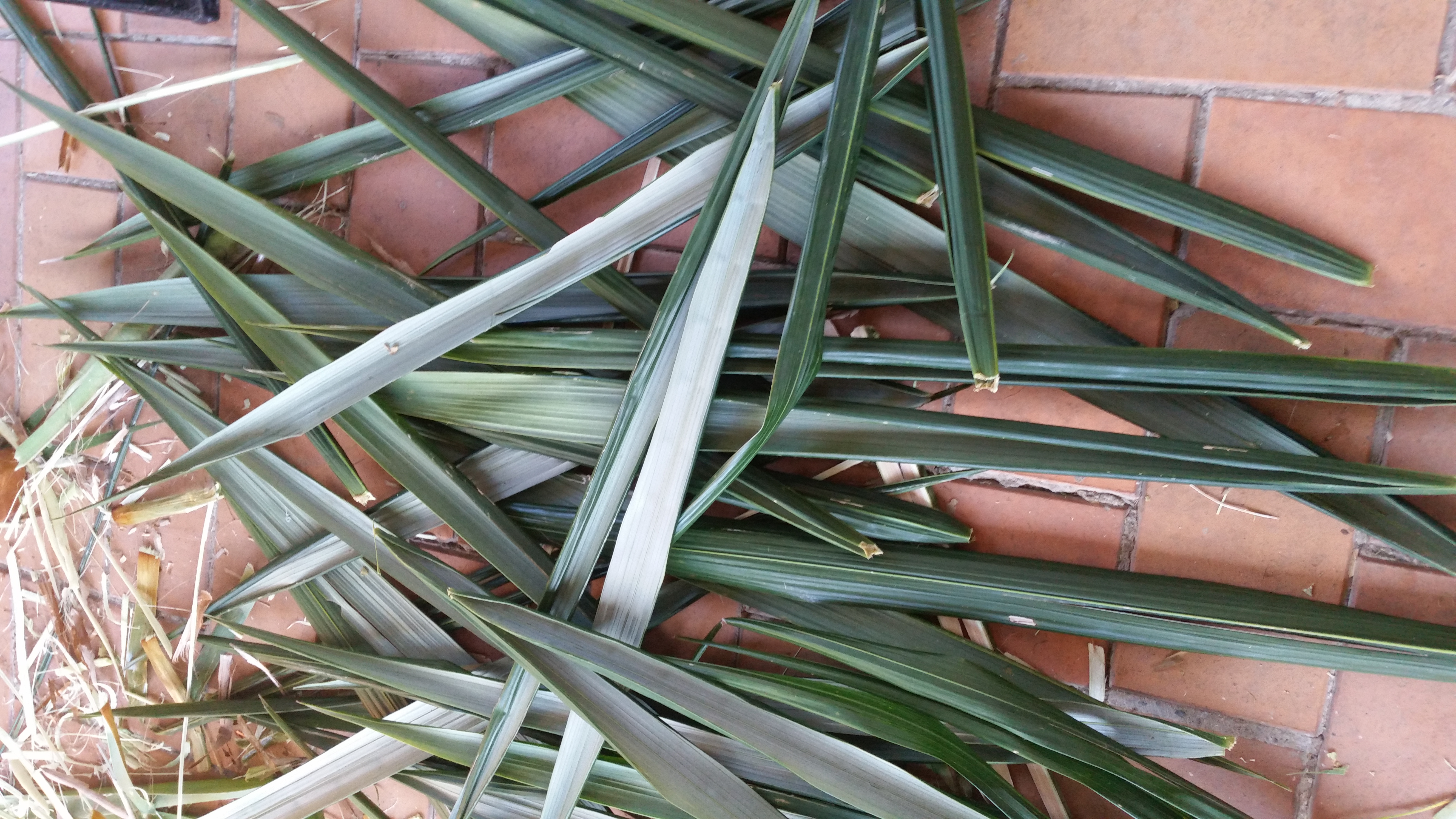 coconut palm leaves harvested
