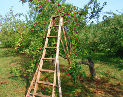 Apples for Dennis Wichelns 001