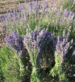 Fresh Lavender Bundles.jpg