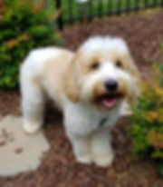 Patches is his name.  He is an apricot and white little boy at Lake Blue Labradoodles