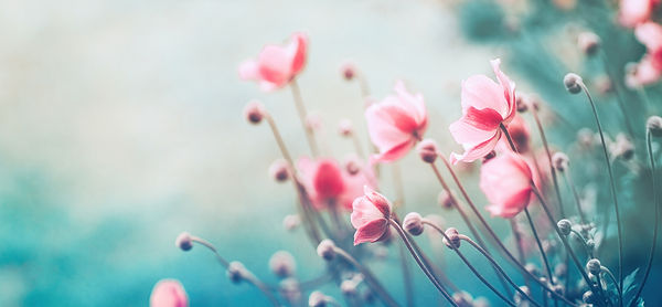Gently pink flowers of anemones outdoors