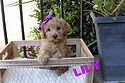 Lake Blue Australian Labradoodle; Puppy