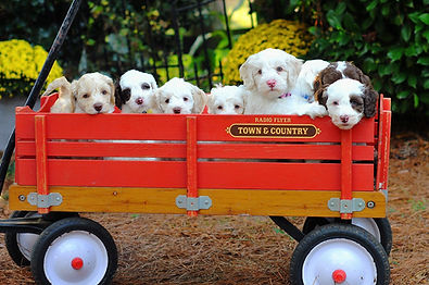 Labradoodles, Labradoodle puppies, Labradoodle puppies for sale, Labradoodles in NC, Lake Blue Labradoos